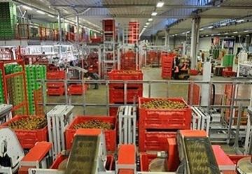 Kiwi verde italiano: mercato sostenuto e prezzi alti