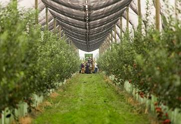 MelaPiù: stagione al via, la raccolta crescerà del 10%