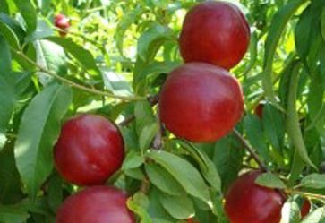 Fruit24 (Apo Conerpo): consumare frutta (e pesche) contro il caldo estivo